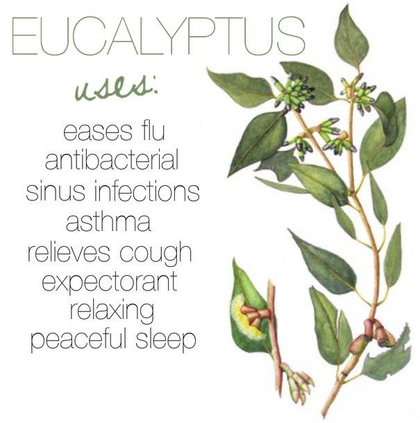 Breathe Easier With Eucalyptus Oil